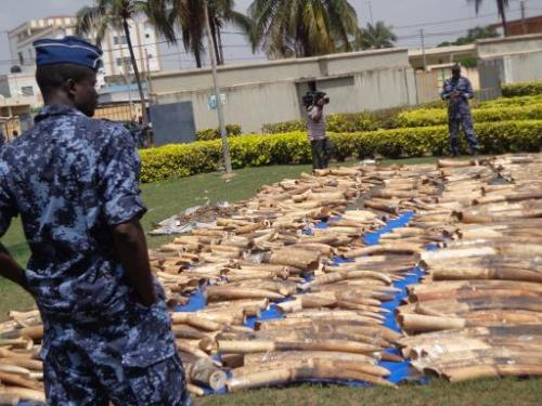 Picture taken on February 4, 2014 shows an ivory haul seized at Lome's autonomous port, as it is diplayed at the security minist