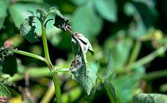 Breakthrough in understanding swarming potato-blight spores