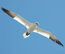 Scientists unravel the mystery of gannets' feeding success