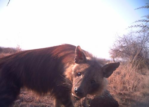 Scientists at work: catching hyaenas on camera for conservation