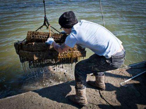 An employee of the Hollywood Oyster company pulls out of the water a basket with fresh oysters at the company farm in the waters