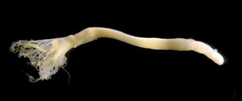 A new species of horseshoe worm discovered in Japan after a 62 year gap