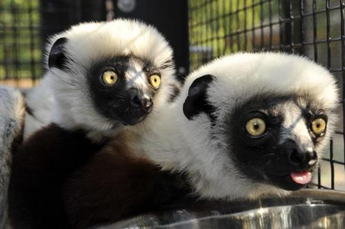 Genome sequences show how lemurs fight infection