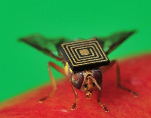 Handout photo obtained from CSIRO on March 21, 2014 shows a Queensland fruit fly with a 1.5-millimetre sensor attached to its ba