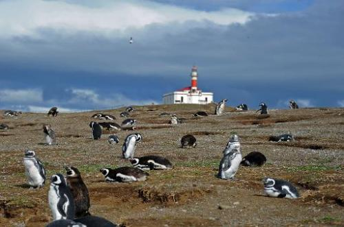 Magellanic penguins are seen on Magdalena Island, 50 km from Punta Arenas, Chile, on February 28, 2014