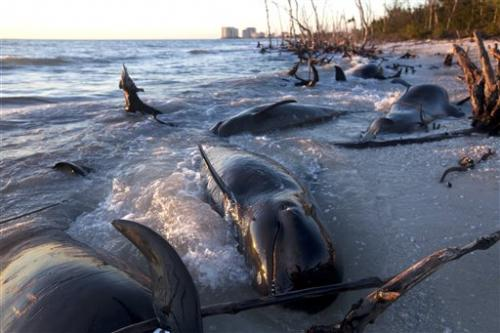 Necropsies begin for 25 pilot whales found dead