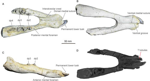 New Material from the Miocene of Ningxia (Western China) Reveals Life History of Platybelodon