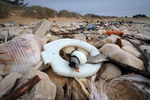 Photo taken on February 10, 2014 shows the body of a puffin washed up on a beach in Sainte-Marie-de-Re, western France, after he