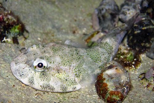 Researcher publishes clingfish discoveries