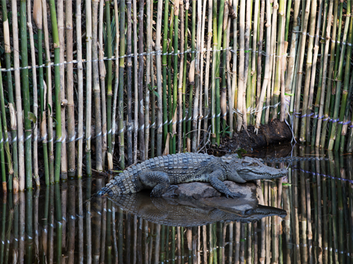Second group of endangered Siamese crocodiles released in southern Cambodia