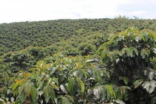 Shade grown coffee shrinking as a proportion of global coffee production