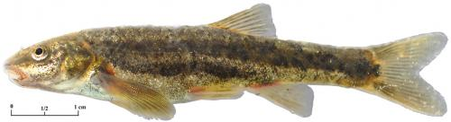 Study finds Oregon's most common fish at least three distinct species