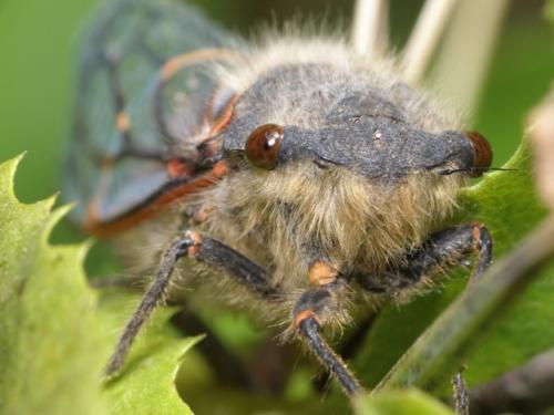 University of Montana cicada study discovers 2 genomes that function as 1