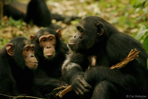 Scientists decode meaning of chimpanzee gestures
