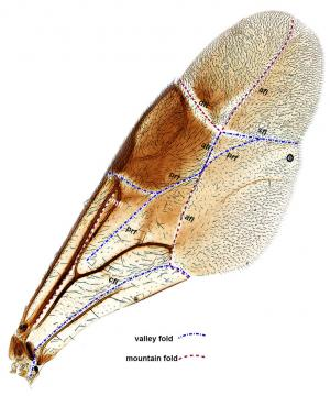 Researchers find unique fore wing folding among Sub-Saharan African ensign wasps