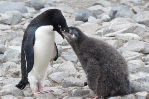 University of Delaware study connects penguin chick weights to local weather conditions