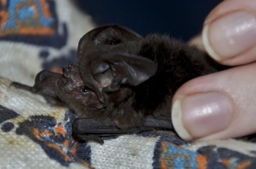 'Extinct' bat rediscovered after 120 years in the wilderness