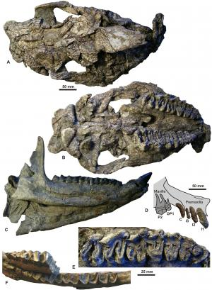 Precursor of European rhinos found in Vietnam