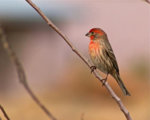 Presence of humans, urban landscapes increase illness in songbirds
