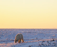 Researchers say polar bears are victims in public war of words