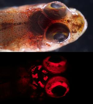 Researchers unveil rich world of fish biofluorescence