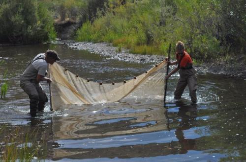 Study finds Oregon's most common fish at least three distinct species