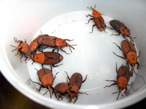 Researchers study the flight pattern of the red palm weevil in order to set more efficient control measures