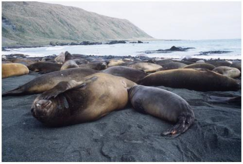 Young new mum elephant seals face greater danger from motherhood