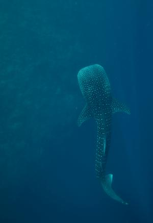 Newly discovered juvenile whale shark aggregation in Red Sea