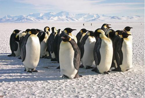 New study finds that Adélie penguin population is on the rise