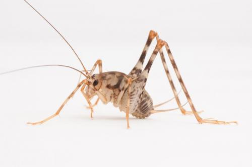 Researchers find Asian camel crickets now common in US homes