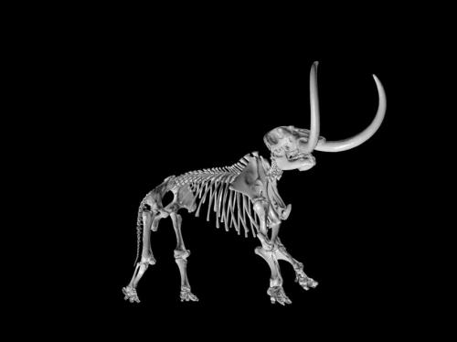 3-D digital skeleton of an adult male mastodon, part of the new University of Michigan Online Repository of Fossils website. A mounted cast of the Buesching mastodon skeleton, which is on display at the U-M Museum of Natural History, was used to align th