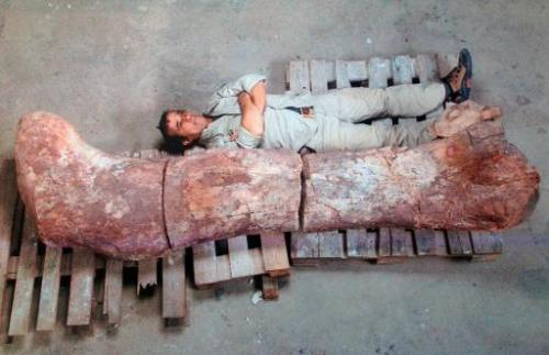 Picture taken on May 16, 2014 showing a technician next to the femur of a dinosaur—likely to be the largest ever to roam the ear