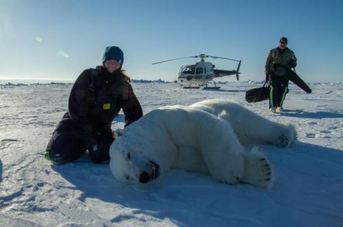 Researcher examines effects of climate change and disease in polar bears