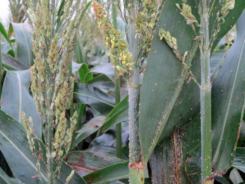 Scientists warning growers about explosive populations of new grain sorghum pest