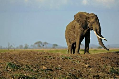 Picture taken on October 14, 2013 shows an elephant in Mikumi National Park, which borders the Selous Game Reserve in southern T