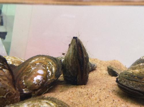 Research shows value of clams, mussels in cleaning dirty water