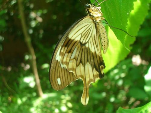 Scientists unravel the genetic secrets of nature's master of mimicry