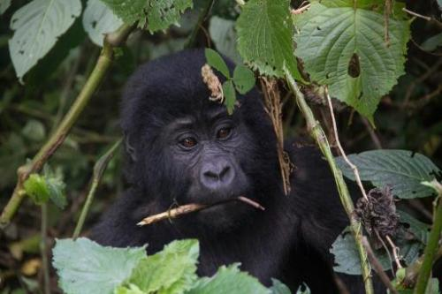 A baby moutain gorilla is seen during a gorilla trekking in Bwindi Impenetrable National Park, in Uganda, on May 24, 2014