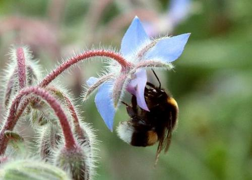 A bumblebee gathers pollen on a flower in the suburbs of Paris in July 2013