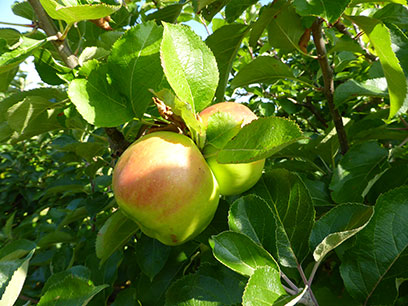 Abundant bugs bring better apples