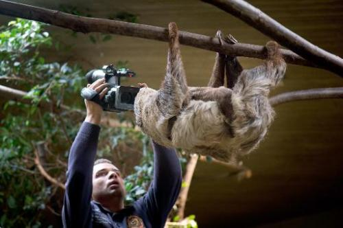 A cameraman films a sloth at the zoo in Dresden, eastern Germany, on January 16, 2014
