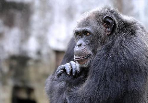 A chimpanzee at the zoo in Abidjan, Ivory Coast, on June 12, 2014