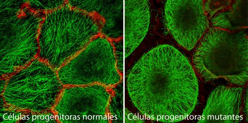 A CNIO study finds a 'molecular scaffolding' that maintains skin structure and organisation