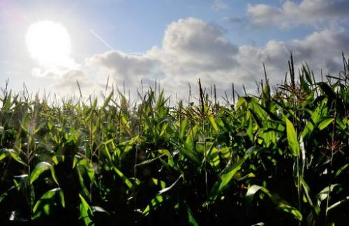 A corn field in Godewaersvelde, northern France is pictured on August 22, 2012