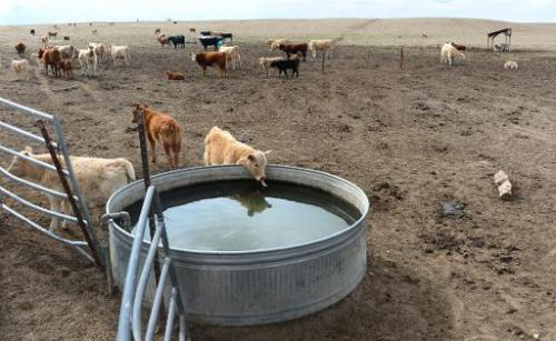 A cow drinks from a pool of water as cattle roam the dirt-brown fields of California rancher Nathan Carver's cousin's ranch on t