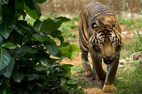A critically endangered Sumatran tiger, pictured at its enclosure at Ragunan Zoo in Jakarta, on October 23, 2013