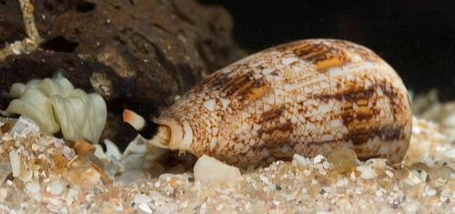 Advance toward developing an oral pain reliever derived from debilitating snail venom
