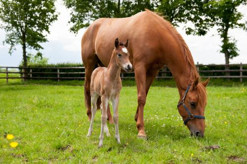 A first in Europe: birth of four foals from genotyped, cryopreserved embryos