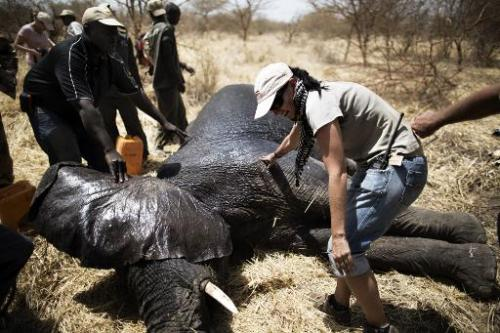 African Parks staff prepare a sedated elephant, darted at the Zakouma National Park on February 23, 2014 during a collaring oper